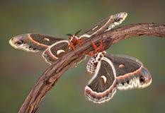 Zwei Cecropiamotten auf einer Rebe stockbild
