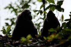 Zwei Celebes erklommen Makaken auf der Niederlassung des Baums Schlie?en Sie herauf Portrait Endemischer schwarzer Makaken mit Ha stockfoto