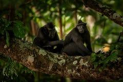 Zwei Celebes erklommen Makaken auf der Niederlassung des Baums Schlie?en Sie herauf Portrait Endemischer schwarzer Makaken mit Ha lizenzfreie stockfotografie