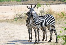 Zwei Chapman Zebra, der zurück zu Rückseite auf den Afrikaner-Ebenen in Süd-Nationalpark Luangwa, Sambia steht stockfotografie