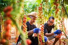 Zwei cheking Mannlandwirtschafts-Landarbeiter und sammeln Ernte der Kirschtomate im Gewächshaus stockfotos