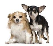 Zwei Chihuahua-, 6 und 2jahre alt Stockfotografie