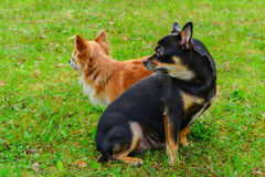 Zwei Chihuahua auf dem Rasen lizenzfreie stockfotografie