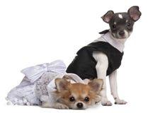 Zwei Chihuahua gekleidet-oben lizenzfreie stockfotografie
