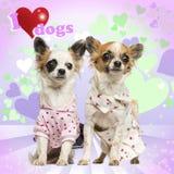 Zwei Chihuahua gekleidet oben auf Herzhintergrund lizenzfreie stockbilder
