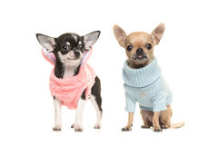 Zwei Chihuahuahündchen, die eine rosa Strickjacke tragen und eine Querstation tragen Stockfotografie