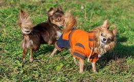 Zwei Chihuahuahunde, die auf Rasen spielen Stockfotos