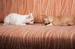 Zwei Chihuahuahunde, die auf Sofa mit zäher Festlichkeit liegen Stockfotografie