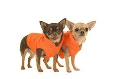 Zwei Chihuahuahunde, die in den orange Mänteln stehen Stockbilder