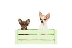 Zwei Chihuahuahunde, die in einer grünen Kiste sitzen Stockbilder