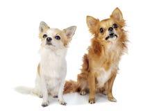Zwei Chihuahuahunde, die oben mit Interesse schauen Lizenzfreie Stockfotografie