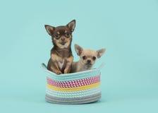Zwei Chihuahuahunde in einem farbigen Korb auf einem Türkishintergrund Lizenzfreie Stockbilder