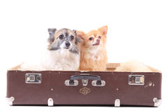 Zwei Chihuahuahunde im Koffer Stockfotos
