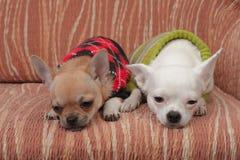 Zwei Chihuahuahunde kleideten mit den Pullovern an, die auf Sofa stillstehen Stockbilder