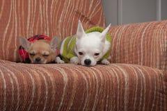 Zwei Chihuahuahunde kleideten mit den Pullovern an, die auf Sofa stillstehen Lizenzfreie Stockbilder