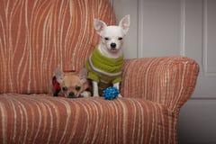 Zwei Chihuahuahunde kleideten mit den Pullovern an, die auf Sofa stillstehen Stockfoto