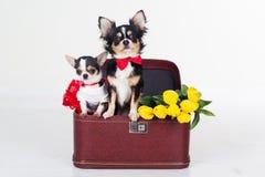 Zwei Chihuahuahunde sitzen im Kasten mit Blumen Stockfotografie