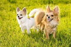 Zwei Chihuahuahunde am sonnigen Sommertag Lizenzfreie Stockfotos