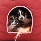 Zwei Chihuahuahunde stehen still Stockfotografie