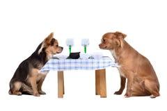 Zwei Chihuahuahunde am Tisch Stockfotografie