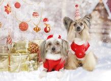 Zwei Chinese Crested-Hunde in den Weihnachtskostümen Stockfotografie