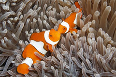 Zwei Clown Anemonefish Lizenzfreie Stockfotos
