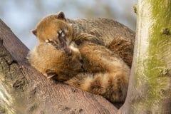 Zwei Coatimundis schlafen Lizenzfreie Stockbilder