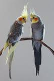 Zwei Cockatiels Stockfotos