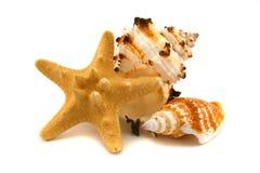 Zwei Cockleshells und Starfish Lizenzfreie Stockfotografie