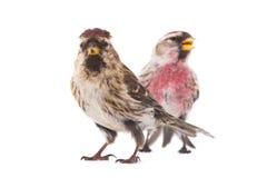 Zwei Common Redpoll Acanthis-flammea Stockfotos