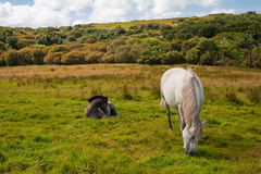 Zwei Connemara Ponys Stockfotografie