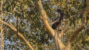 Zwei düstere Blatt-Affen auf Baumast Stockfoto