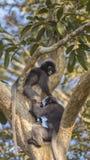 Zwei düstere Blatt-Affen auf Baumast Lizenzfreies Stockfoto