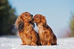 Zwei Dachshundhunde, die draußen im Winter aufwerfen lizenzfreie stockbilder