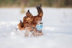 Zwei Dachshundhunde, die draußen im Winter spielen lizenzfreie stockfotografie
