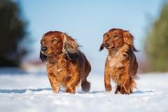 Zwei Dachshundhunde, die draußen in Winter gehen stockfotografie