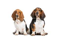 Zwei Dachshundjagdhunde Stockfoto