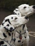 Zwei dalmatinische Hunde Stockbild