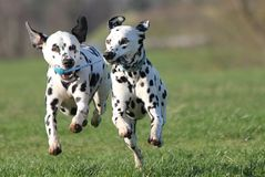 Zwei dalmatinische Hunde, die vorwärts laufen stockfoto