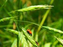 Zwei Dame Bugs auf einer Anlage lizenzfreies stockbild