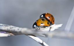 Zwei Damefliegen Stockfoto