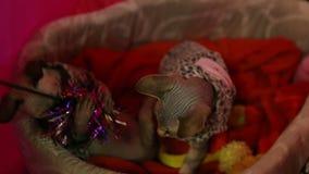 Zwei das hübsche Sphynx Kätzchen, das mit Inhaber, die Tatzen fangen Katze spielt, spielen, Ausstellung stock video footage