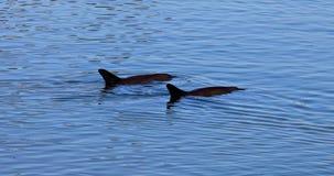 Zwei Delphin-Affe Mia stock video
