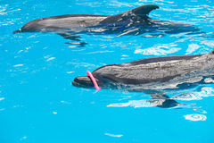 Zwei Delphin-Spielen Stockfotografie