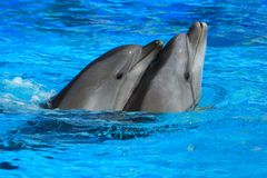 Zwei Delphine Stockfotos