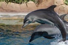 Zwei Delphine, die heraus springen Stockbilder