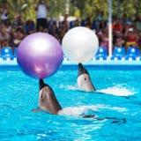 Zwei Delphine, die im dolphinarium spielen Lizenzfreies Stockfoto