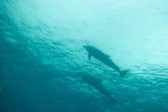 Zwei Delphine, die im Roten Meer a schwimmen e a e Lizenzfreies Stockbild