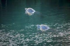 Zwei Delphine, die im Tropeninselmeer schwimmen Lizenzfreie Stockbilder