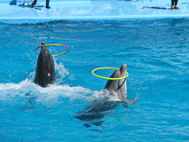 Zwei Delphine kommen vorwärts in Wasser mit Ringen Stockfotografie